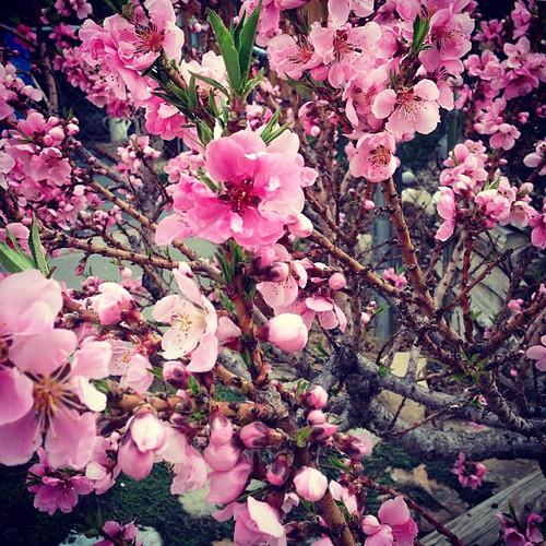 My mom's dwarf nectarine tree.