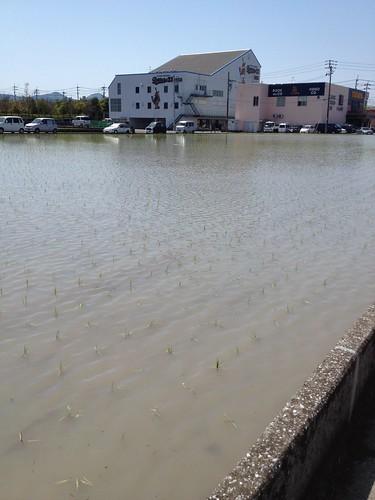 いつのまにか田植えが終わっていた。 by haruhiko_iyota