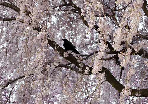 crow amid the cherry trees - 2013-04-09