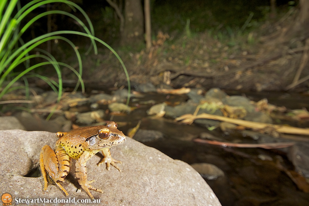 Fleay's barred frog (Mixophyes fleayi)