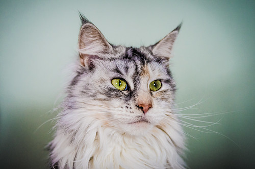 Ziva the Maine Coon by Nicholas Erwin