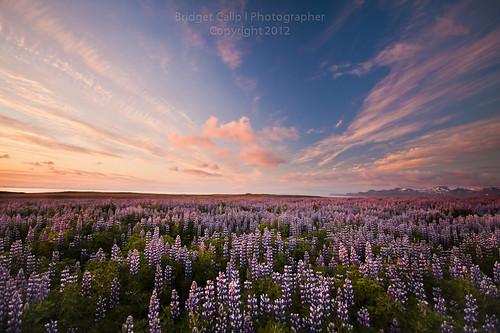 sunset snow mountains green iceland wildflowers blueskies bluebonnets vast lupines olafsvik whispyclouds snaefellsnespeninsula articsummer westerniceland ingjaldsholl midnightsign
