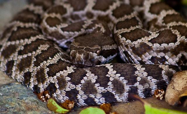 LA Rattlesnake