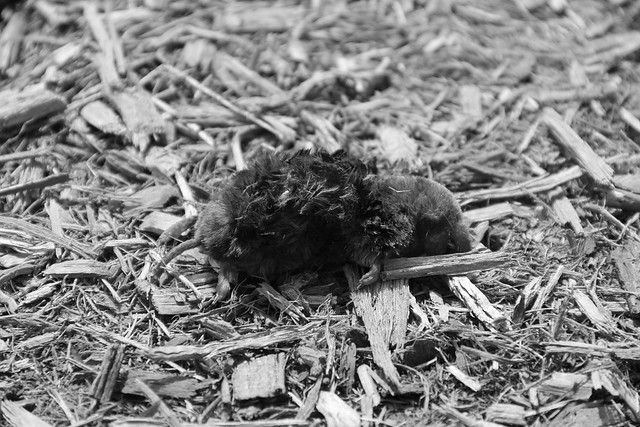 Dead Field Mouse at Lincoln Marsh, Mid Spring, 2013