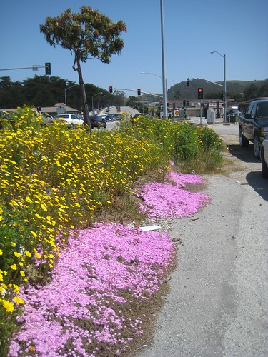 Phlox and Arctotis in parking lot, Half Moon Bay