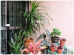 Mostly foliage plants, including Dracaena marginata (Madagascar Dragon Tree) at our garden porch, March 29 2013