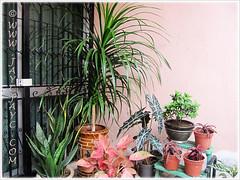 Foliage plants: Dracaena marginata, Alocasia sanderiana, Rhododendron simsii, Cryptanthus bivittatus, Aglaonema 'Miss Thailand', Sansevieria trifasciata (29/3/13)