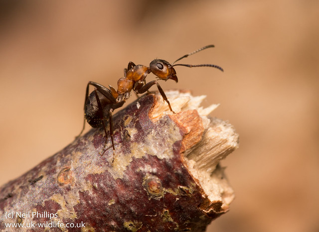 wood ant Formica rufa-5