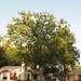 Garden Inventory: Chinese Elm (Ulmus parvifolia) - 06