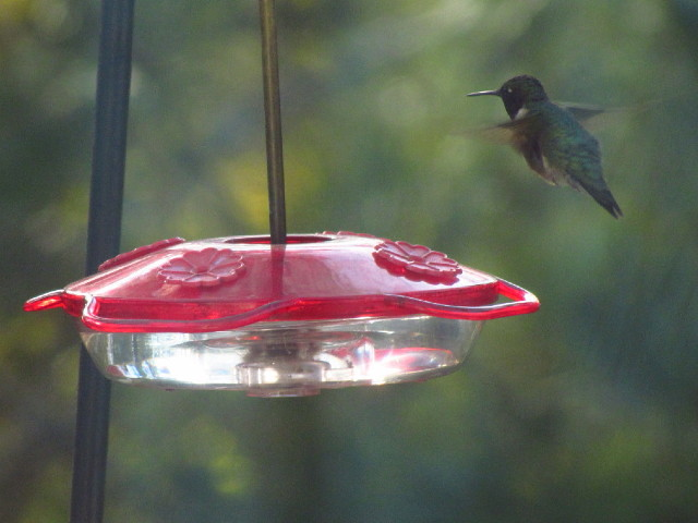 First Hummingbird male 4:29:13