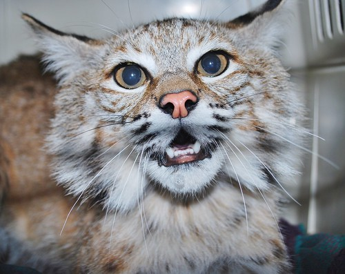 Chips the bobcat growled at the camera, as a wild bobcat should, shortly before being transported to her release site in Humboldt County (Photo courtesy Robert Campbell, volunteer and rehabilitation worker, Sierra Wildlife Rescue)