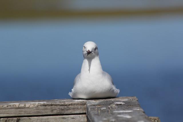 Silver Gull (seagull) Thanks M-L Araminta