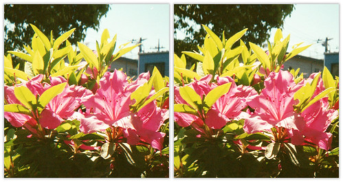 IMG714 Azalea - Nimslo 3D camera : CloseUp test (parallel 3D)