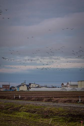 Migrating geese flying over farmland near Miyajima-numa (Tsukigata Town, Hokkaido, Japan)