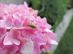 Another hydrangea, another hitchhiker