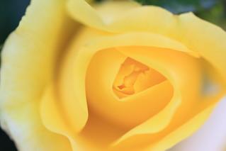Yellow rose / 黄色いバラ
