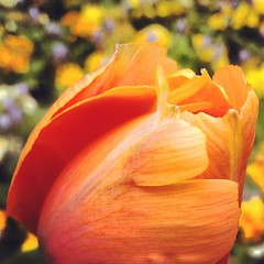 Gorgeous orange tulip