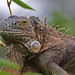 Iguana sp., Costa Rica (Reagan Smith)