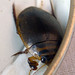 Small photo of Acilius sulcatus. Diving Beetle.Male