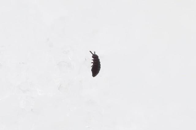 肉眼で見るのは難しい,小さなトビムシ.雪の上で元気に飛んでいた.
