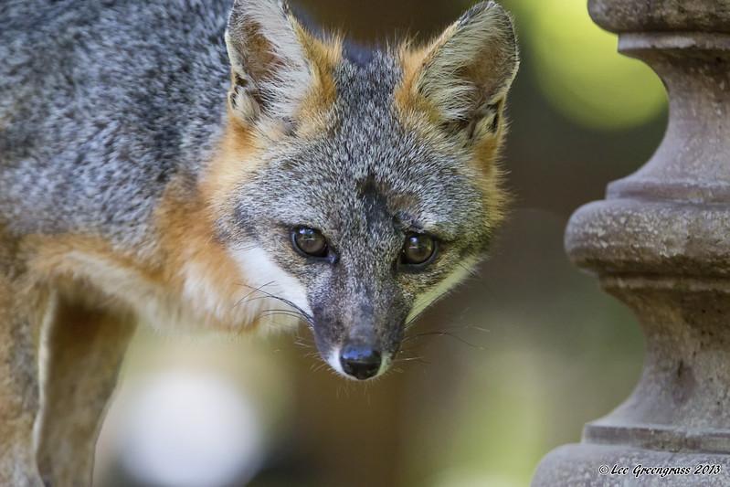 Grey Fox on Bird Bath
