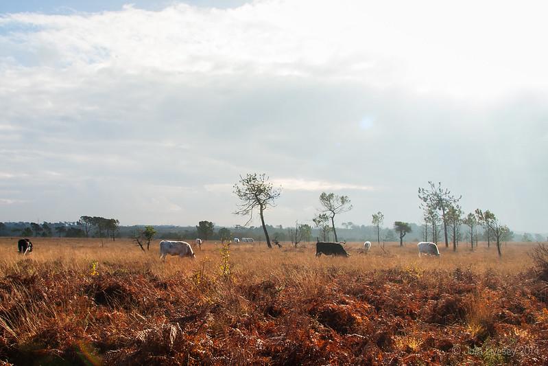 Graing on the heath