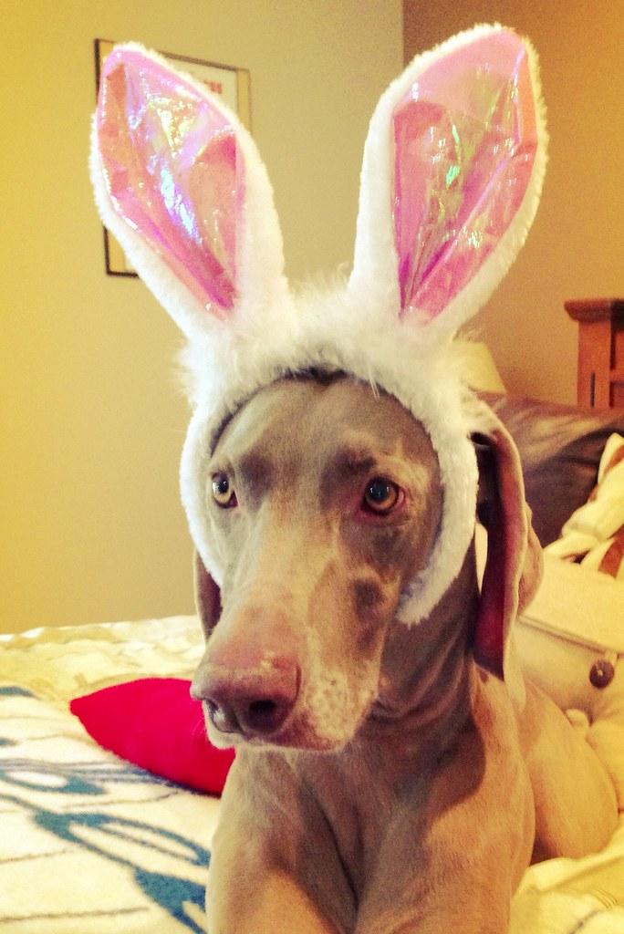 Disgruntled bunny dog