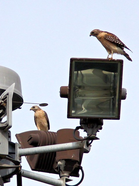 Red-shouldered Hawks 20130401