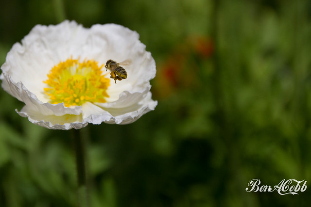 Bee headed for poppy flower, by Ben Cobb, March 25, 2013.