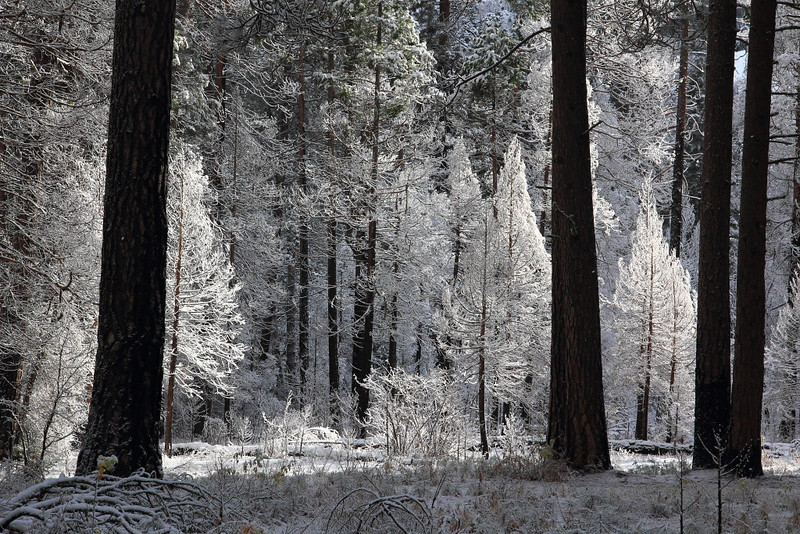 IMG_4914 Forest in Yosemite Valley in Winter
