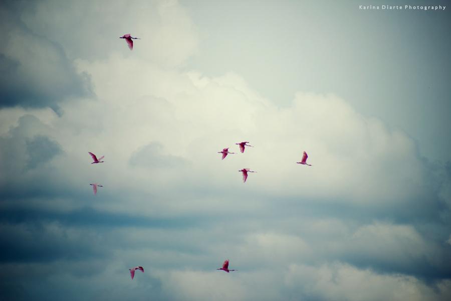 Espátula rosada / Roseate Spoonbill