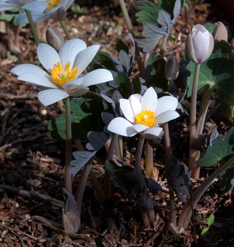 Sanguinaria canadensis LA 4-9-13 6320 lo-res