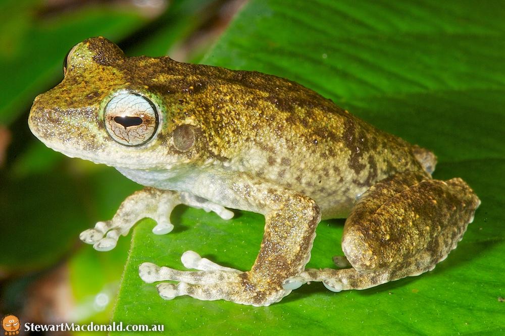 Myola tree frog (Litoria myola)