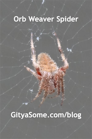 Orb Weaver Spider with striped legs