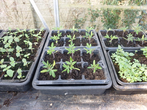 Tomatoes and antirrhinum