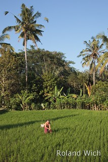 Ubud - Working in the rice fields