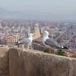 Seagull, Castle Alicante
