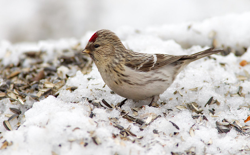 "Common ""Mealy"" Redpoll"