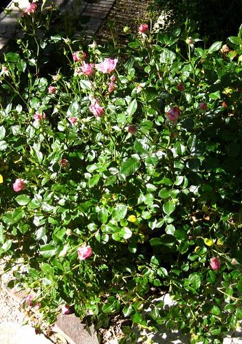 Pink Minirose