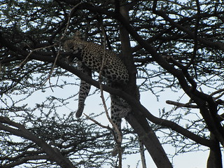 Leopard Taking a Nap After Dinner