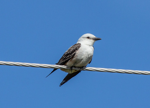 Tailless Scissor-tailed Flycatcher
