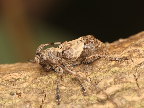 Pterolophia jugosa jugosa ナカジロサビカミキリ