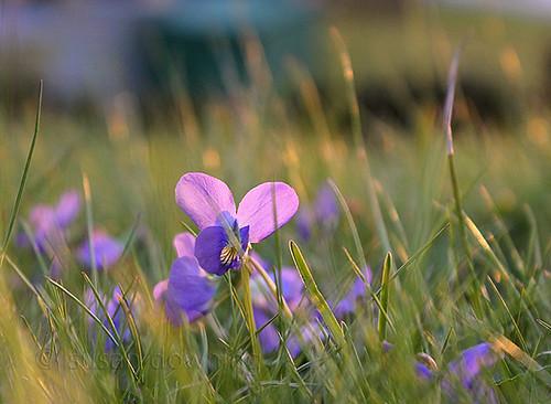 Violet 241/365
