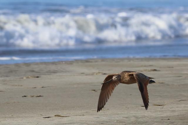 Picopando canelo volando sobre Doran Beach, Bodega Bay, California