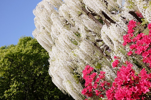 white wisteria & azalea