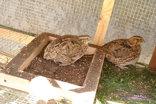 8704496851 129ea19b9c Raising Quail Can Generate Quick Cash.