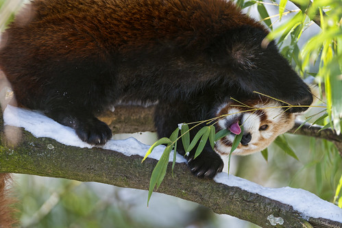 8706674524 9b6ef7eefc Red panda eating in a funny position