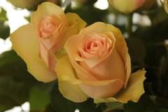 rosa 㗠centifolia(0.0), macro photography(0.0), floristry(0.0), pink(0.0), garden roses(1.0), floribunda(1.0), flower(1.0), yellow(1.0), rosa foetida(1.0), plant(1.0), plant stem(1.0), petal(1.0),
