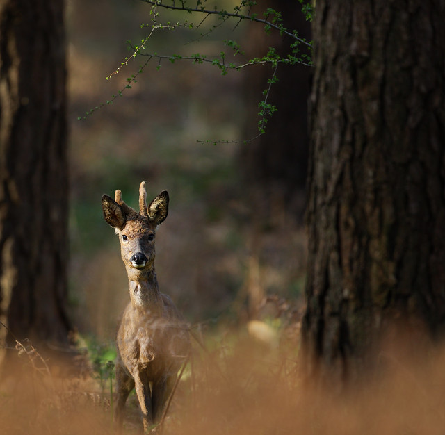 Roe deer, Cowdray Forest
