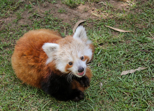 Baby Red Panda at Mogo Zoo